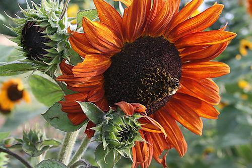 Orange sunflower in the garden