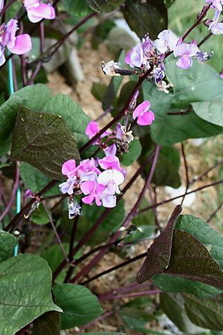 Hyacinth Bean