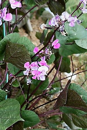 Hyacinth Bean Blooms and Leaves