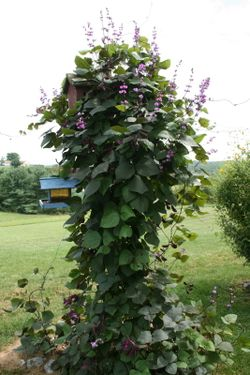 Hyacinth Bean growing around the birdhouse post