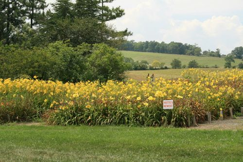 Fields of Daylilies
