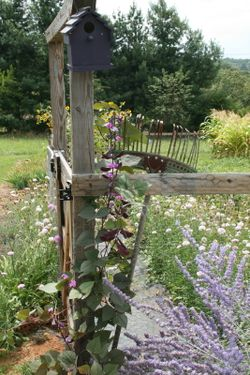 Hyacinth bean at garden gate climbing up an old rake