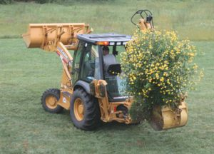 Transplanting Yellow Rose of Texas