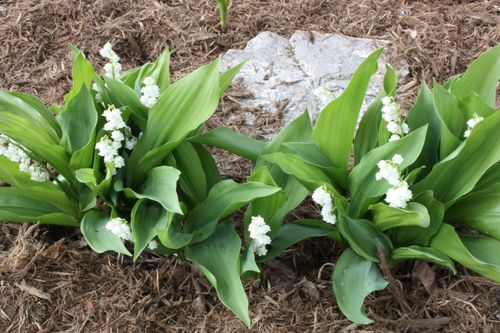 Lily of the Valley ~ thanks to Sarah S.