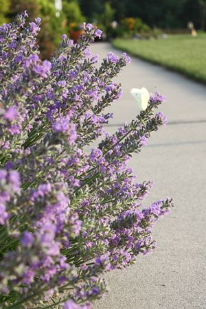 Lavendar at the sidewalk