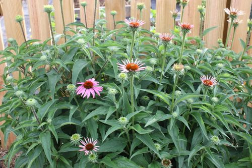 Coneflowers by the garden fence