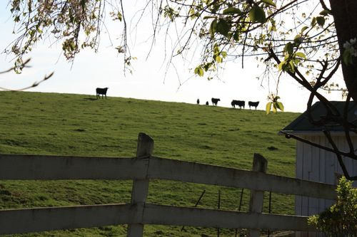 back yard with cows