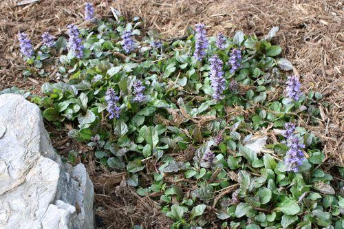 Ajuga or Bugleweed