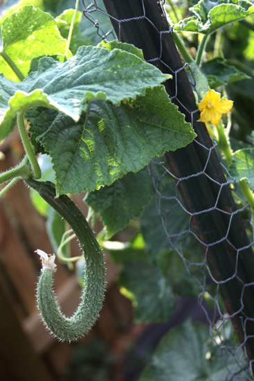 """Suyo"" Asian long cucumber on the vine"