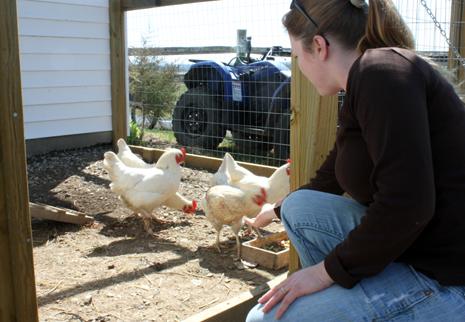Feeding the hens