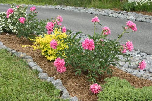 Peonies along driveway