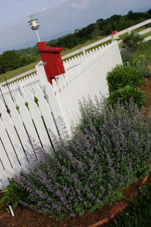 Purple Catmint ~ spring 2011