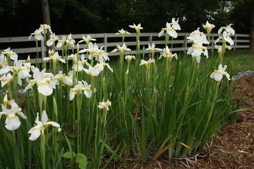 Siberian iris ~ 2011