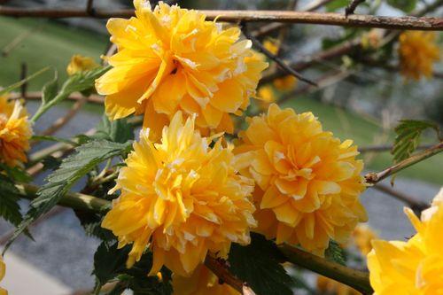 Yellow Rose of TX