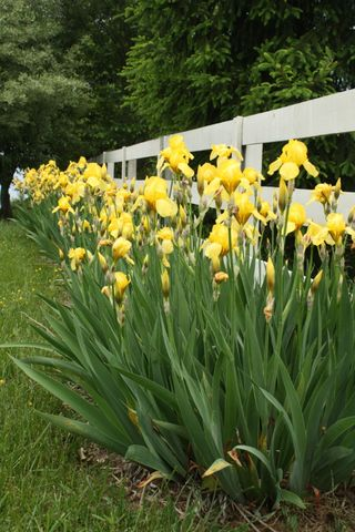 Row of yellow irises