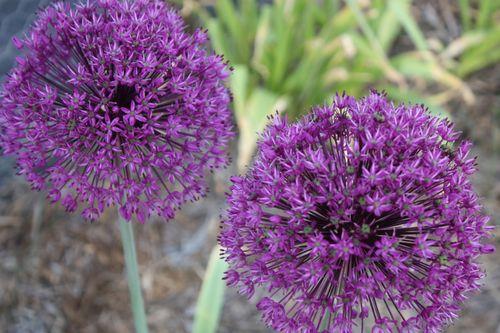 Allium ~ spring 2011