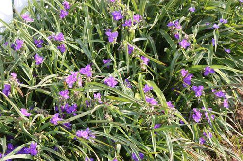 Spiderwort ~ Spring 2011