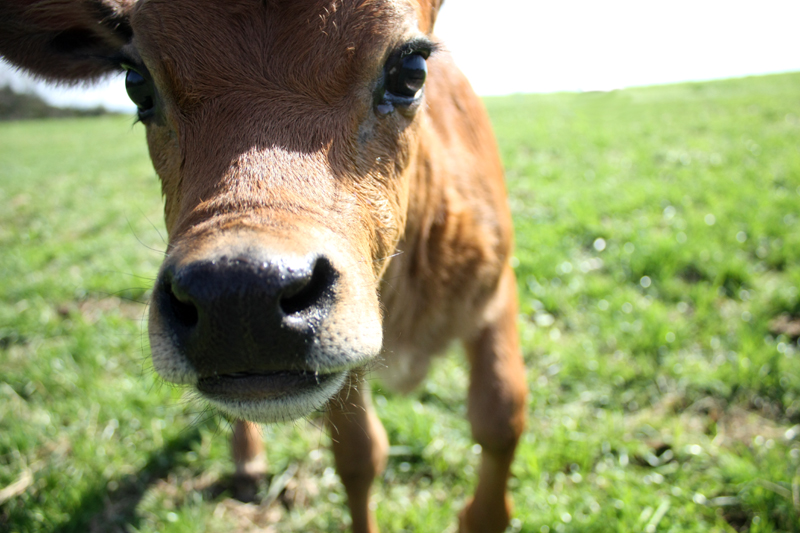 curious newborn jersey calf