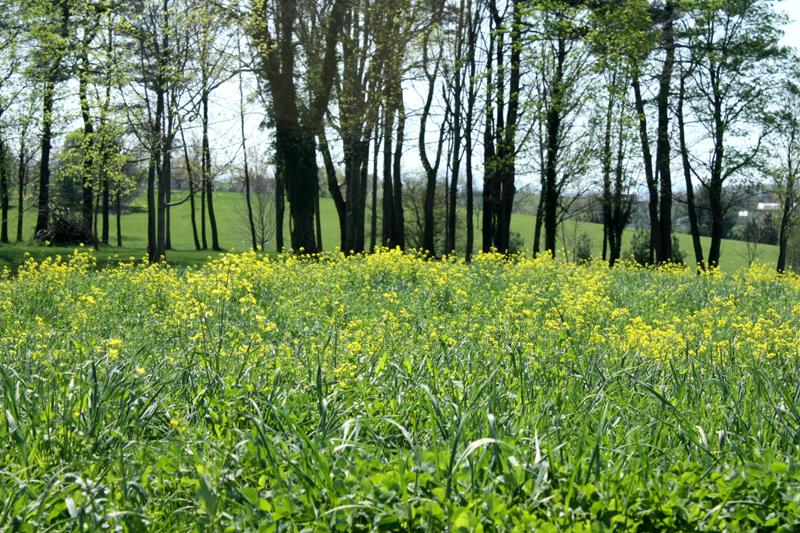 Mustard Fields~Hannah Girotti