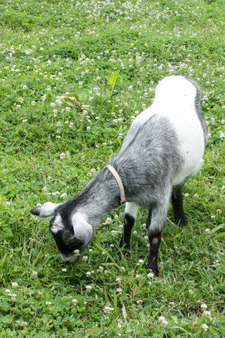 Dairy goat at T Cupp Miniatures