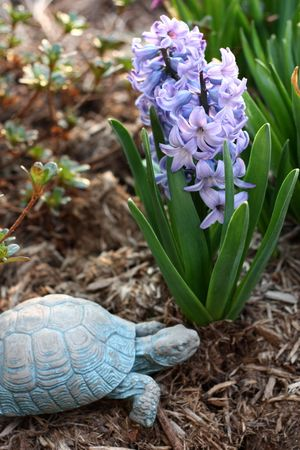 Hyacinth ~ 2012 ~ photo by Hannah
