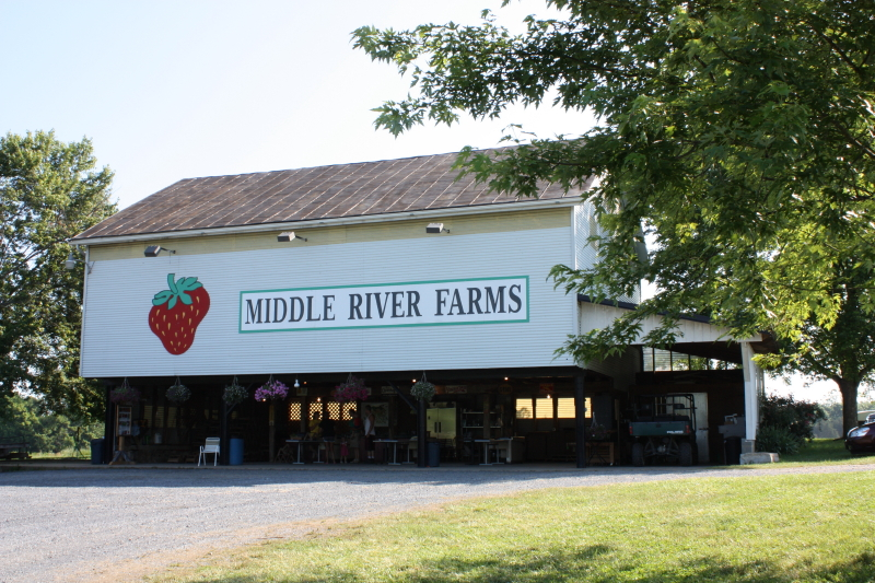 Middle River Farms ~ strawberrying 2012