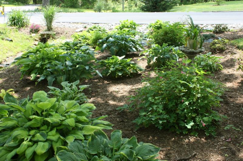 Hostas in the shade garden