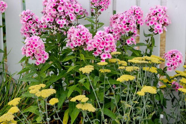 Phlox and Yarrow