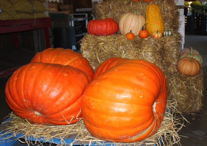 Big Boy pumpkins!
