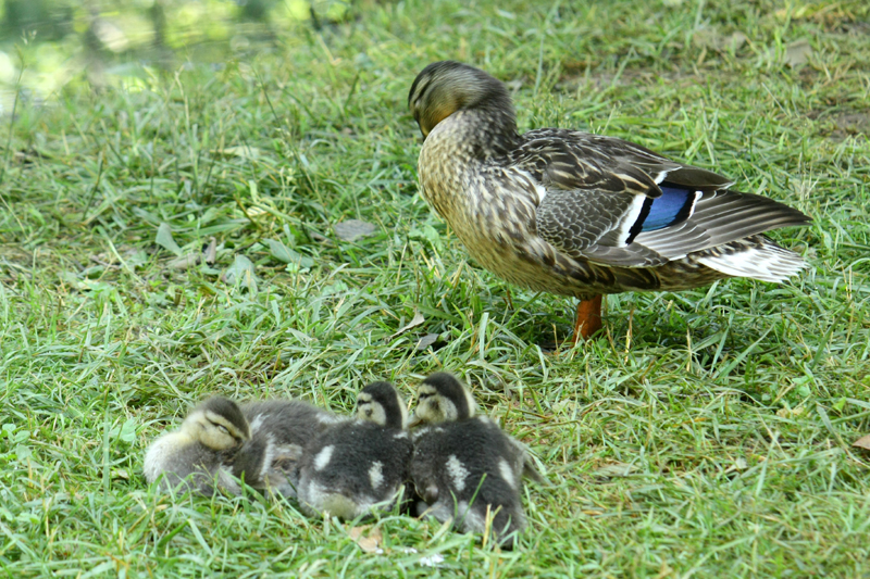 Ducks at Frontier Culture Museum, photo by Hannah G. Girotti, 2012