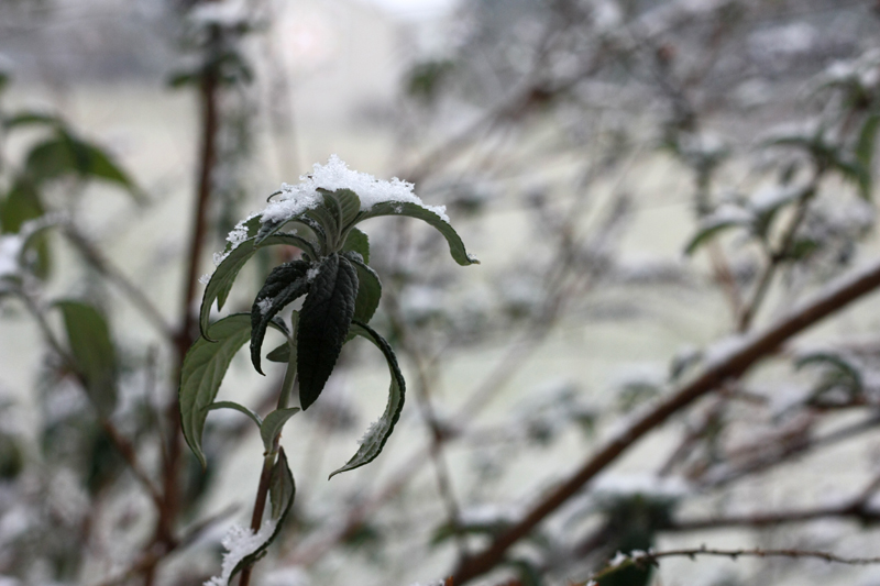 Butterfly Bush in Winter, photo by Hannah G. Girotti, 2012