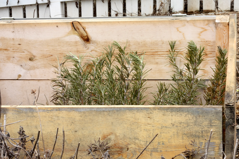 Rosemary in cold frame