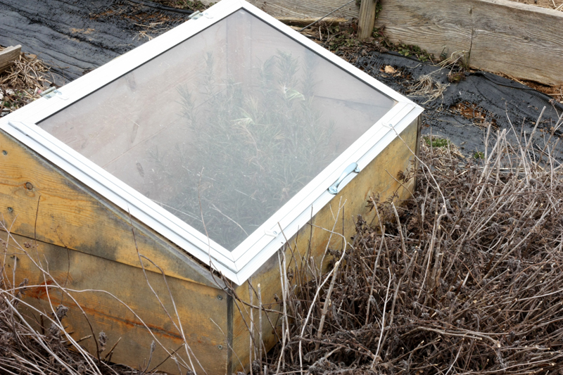 Cold Frame with rosemary