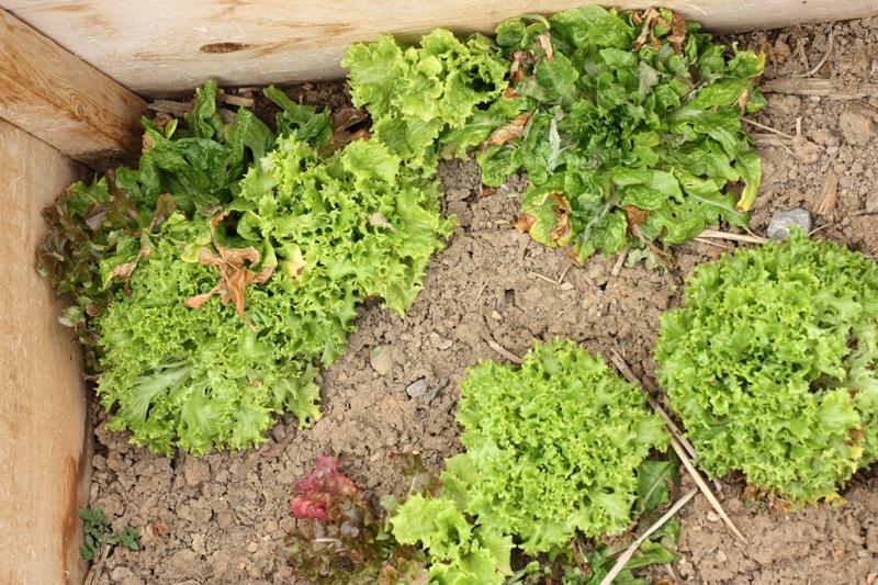 Salad mix in cold frame