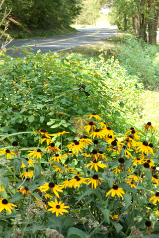 Jewelweed and Black-eyed Susan