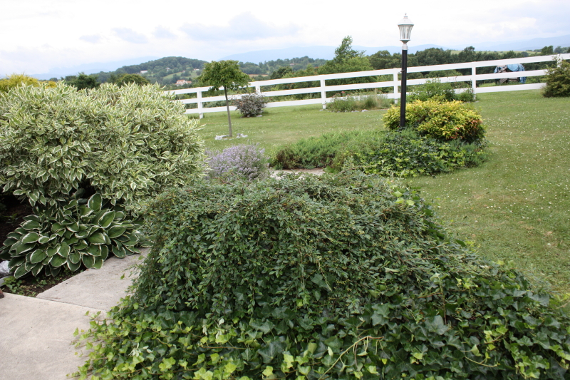 Cottoneaster, Ivy (front); Weeping cherry, background
