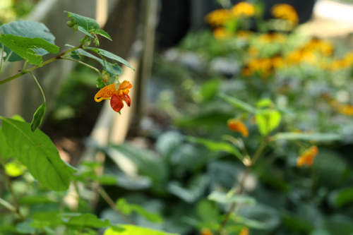 stand of jewelweed