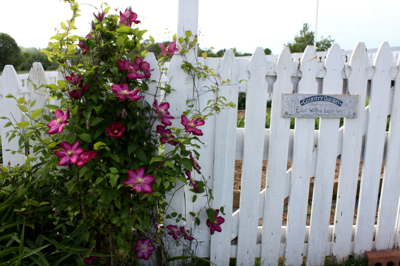Clematis by the garden gate ~ 2013