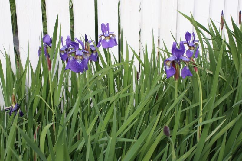 Siberian Iris ~ 2013