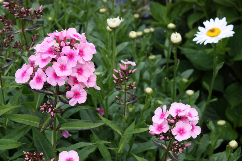 Phlox and Daisies