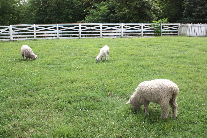 Colonial sheep grazing on colonial grass :)