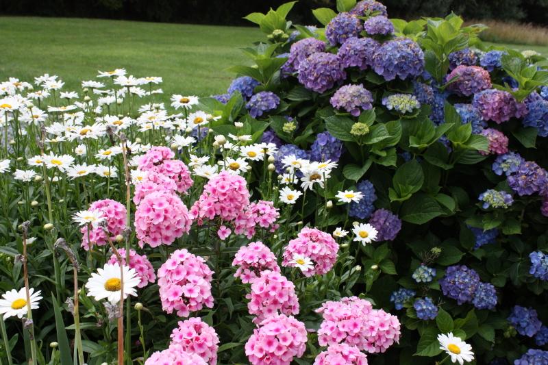 Phlox, daisies, and hydrangea