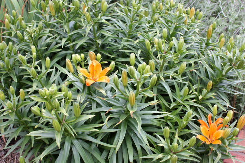 Asiatic Lilies