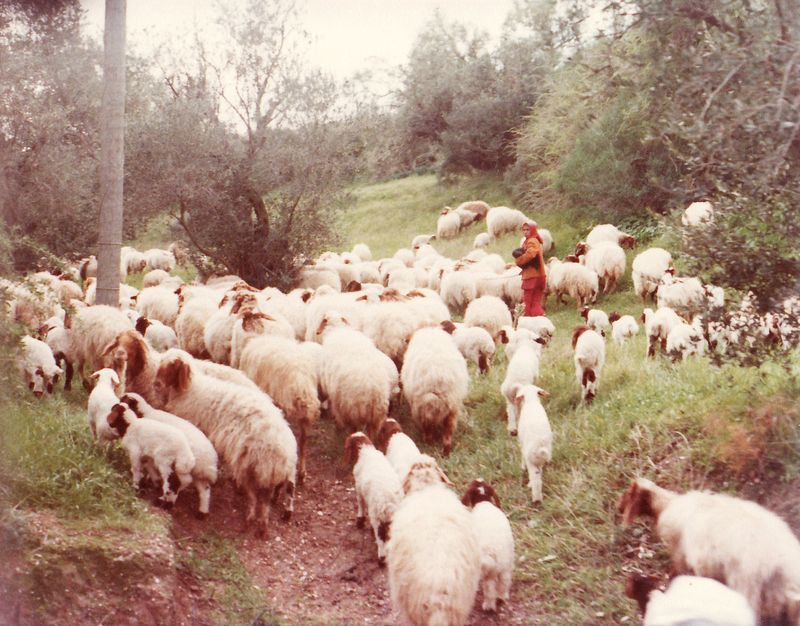 Flock of Sheep on the road from Ashkelon ~ photo taken from tour bus 1977