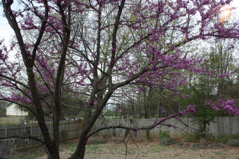 Redbud at Bet's house April '14