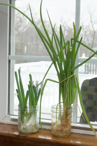 Green onions growing from roots