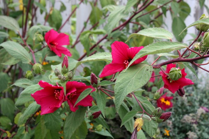 Garden Gate Hibiscus