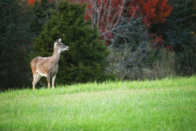 Deer - Staunton, VA, October 25, Hannah G. Girotti