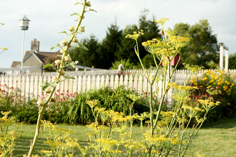 picket fence garden, fennel in foreground