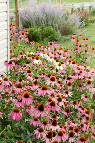coneflowers at shed